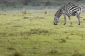 Zebra in National Park. Africa, Kenya — Stock Photo