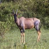 Antylopa topi w rezerwie krajowej Afryki, Kenia — Zdjęcie stockowe