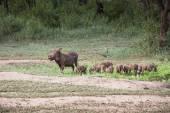 Warthogs near a water hole in Tarangire national park in Tanzani — Stockfoto
