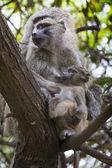 Baboon - Tarangire National Park - Wildlife Reserve in Tanzania, — Stock Photo
