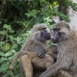 Baboon - Tarangire National Park - Wildlife Reserve in Tanzania, — Stock Photo #63900215