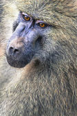 Head view of Anubus baboon in Tarangire National Park, Tanzania — Stock Photo