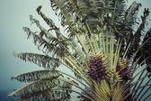 Coconut palm in Hawaii, USA. — Stock Photo