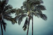 Coconut palm in Hawaii, USA. — Stock fotografie