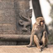 Young rhesus macaque monkey at Swayambhunath temple, Kathmandu v — Stock Photo