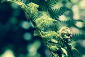 Unravelling fern frond closeup, one of New Zealand symbols. — Stock Photo