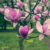 Pink magnolia tree blossom flower — Stock Photo