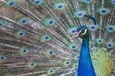 Портрет Красивый павлин перьями — Стоковое фото