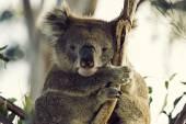 Sleepy koala — Stock Photo