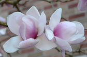 Nice couple of magnolia flowers — Stock Photo