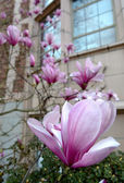 Diagonal of pink magnolia flowers in front of a campus building — Stock Photo
