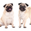 Two friendly pug dogs sitting isolated on white  — Stock Photo #72107203