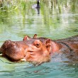 African Hippo Enjoying the Water — Stock Photo #52889219