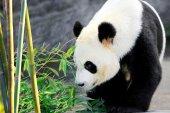 Orso panda — Foto Stock