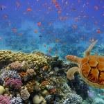 Sea turtle close up in Caribbean — Stock Photo #52730967