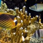Zdjęcie ryba na rafy koralowej — Zdjęcie stockowe