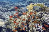 Tropische vissen op koraal rif — Stockfoto