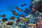 Shoal of Sailfin tang, Red Sea, Egypt — Stock Photo
