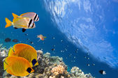 Masked Butterfly Fish and coral reef, Red Sea, Egypt — Stock Photo