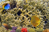 Masked Butterfly Fish and coral reeft — Stock Photo