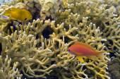 Branching fire coral, Millepora alcicornis — Stock Photo