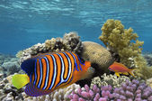 Regal Angelfish in the Red Sea, Egypt — Stock Photo