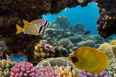 Masked Butterfly Fish and coral reef — Stock Photo