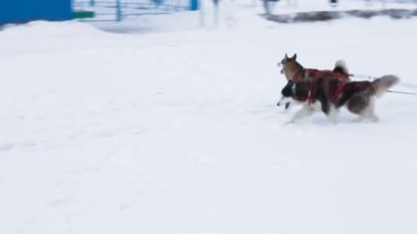 Three dogs  in harness — Stock Video