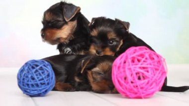 Yorkshire terrier puppy — Stock Video