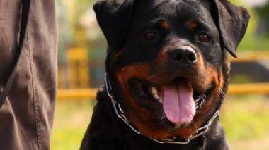 Rottweiler portrait — Stock Video