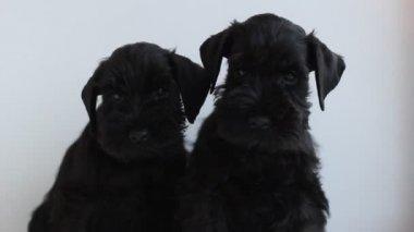Two  black miniature schnauzer — Stock Video