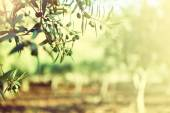 Olive trees garden — Stock Photo