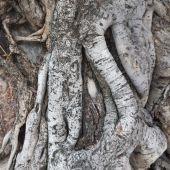 Root of the tree ages — Stock Photo