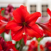 Large red flower — Stock Photo
