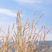 Flower of grass — Stock Photo