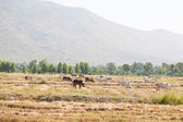 Cattle feeding grass — Stock Photo