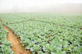 Jordbruk kål — Stockfoto