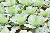 Agriculture cabbage — Stock Photo