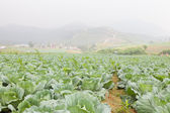 Rolnictwie kapusta — Zdjęcie stockowe