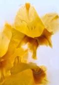 Frozen   flower of   gladiolus — Stock Photo