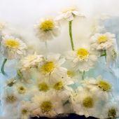 Frozen   flower of   chrysanthemum  — Stock Photo