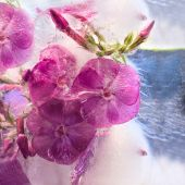 Frozen   flower of   phlox — Stock Photo