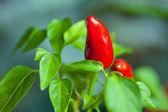 Red Capsicum annuum , Cayenne pepper , hot pepper — Stock Photo