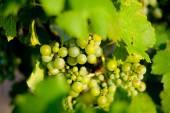 Groene druiven voor wijn op stokken — Stockfoto