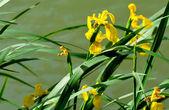 Yellow iris pseudacorus near water — Stock Photo