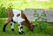 Small baby goat, goatling on green grass — Stock Photo