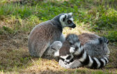 Group of relaxing lemus on grass — Stock Photo