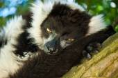 Group of relaxing lemurs on grass — Stock Photo