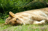 Lying sleeping lion — Foto Stock