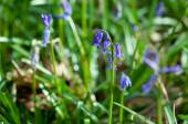 Wild hyacinth Hyacinthoides hispanica in forest at spring time — Foto de Stock